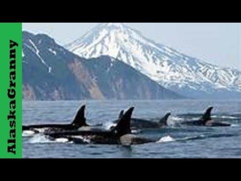 Orca Killer Whales Alaska Kenai Fjords National Park Seward Alaska