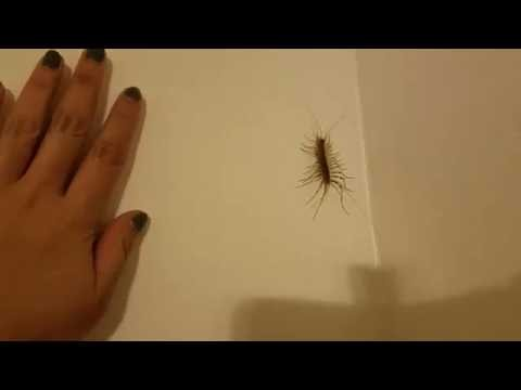My House Centipede: Stan the Man