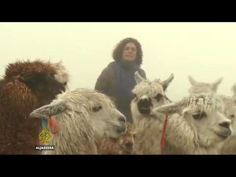 34297 rainfall agriculture Al Jazeera Extreme weather hits Peru's alpacas