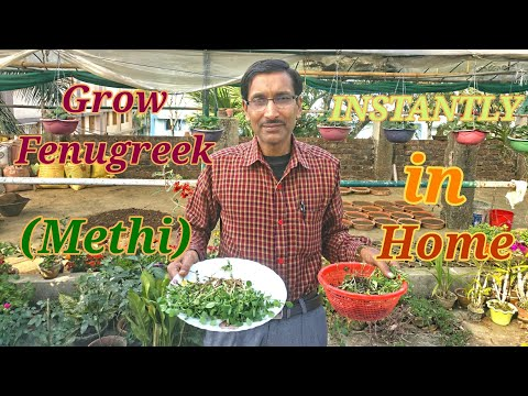 How to Grow Fenugreek ( Methi Sag) at your Home in the fastest way.