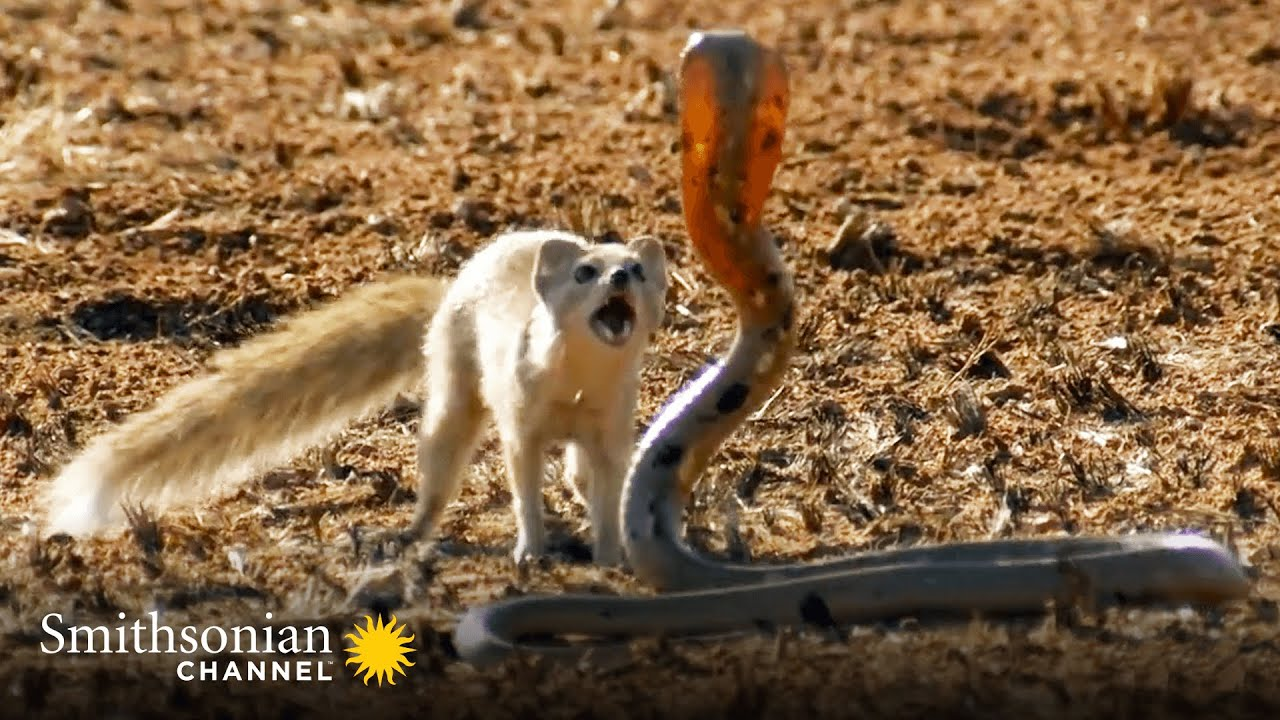 10 Craziest Animal Fights in the Animal Kingdom 🐍 Lions, Hippos, Cobras!   Smithsonian Channel