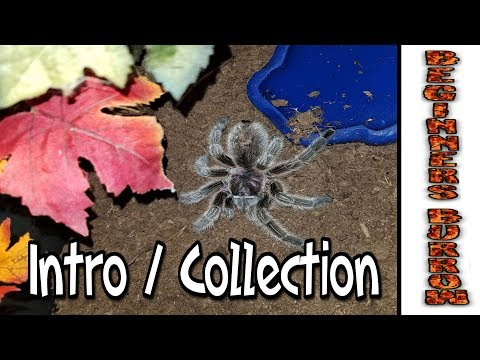 Intro and small tarantula collection tour - Beginners Burrow