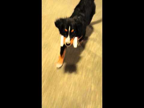 Bernese puppy discovered dumbbell