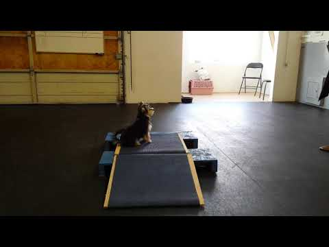 Dog Training Abbotsford B.C. - Baby Moon training at a different location