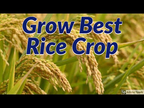 How to Increase Yield of Rice Crop?