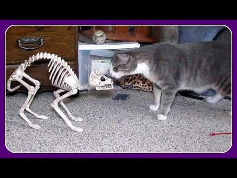 Scaring The Cats With Halloween Decorations