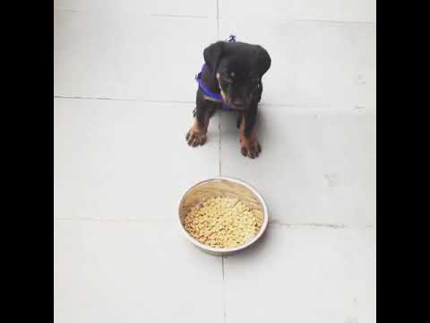 Food aggression training of 2 months old ruby rottweiler puppy.