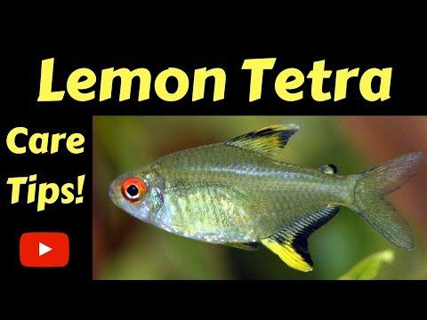 Lemon Tetra Care Tips