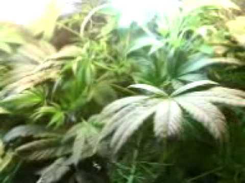 bubbleponics weed grow update week 5.3GP