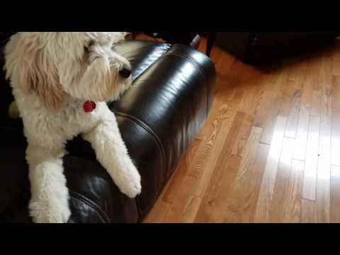 Goldendoodle Service Dog Going Across Room to Retrieve a Blanket for His Handler.