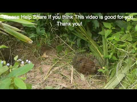 WOW!Amazing Quick Squirrels Trap Using Iron Box Trap ( REAL CATCH ON CAMERA) - How To Catch Squirrel