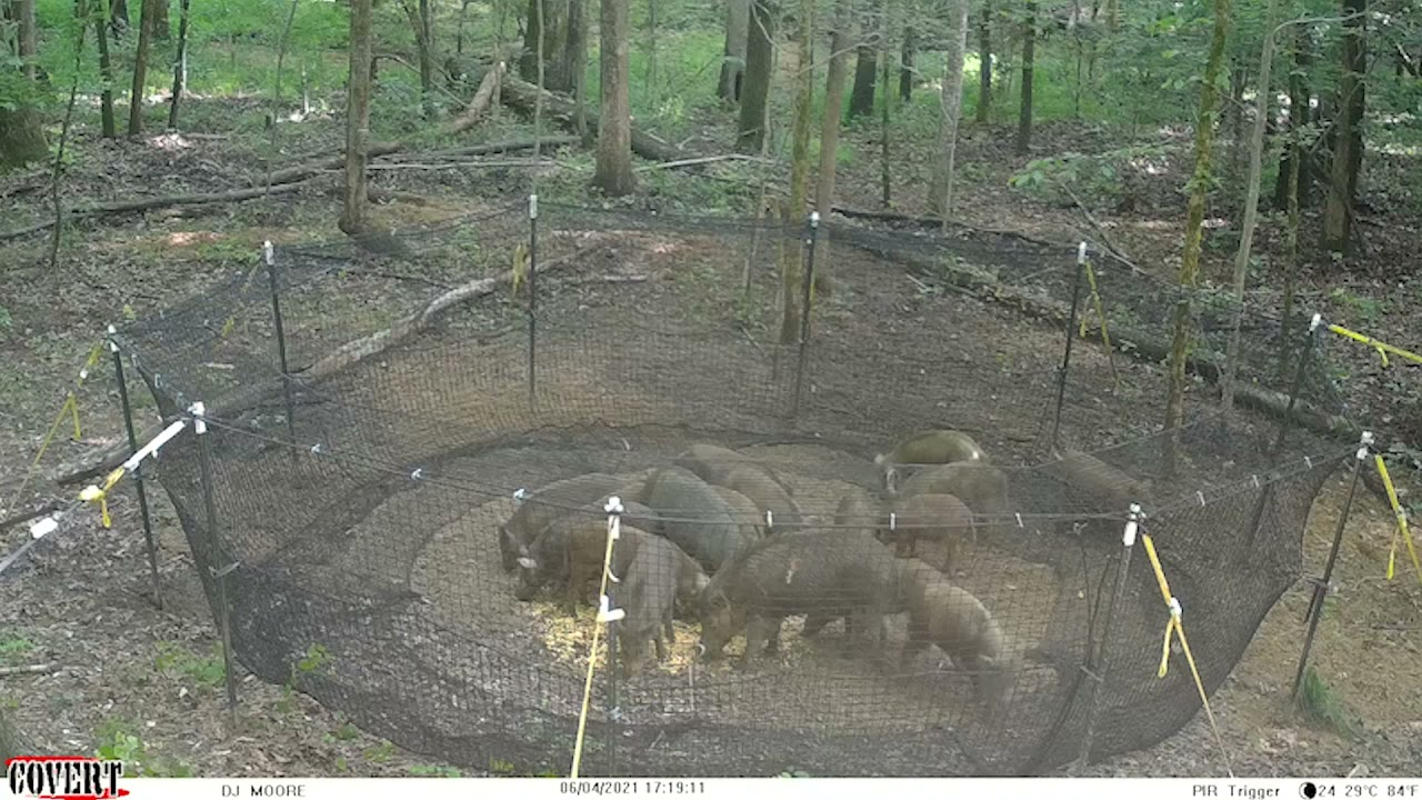 Wild hogs running to supper! Pre-bait pics, Trap catch video, and End result!