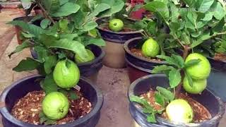 WOW!!! Strange Guava Fruit Trees in Pots - How to plant and grow guava fruit tree in a pot