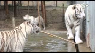 VTC14_Nghệ An: Nữ du khách bị hổ vườn thú cắn cụt tay