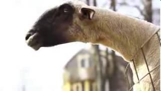 KESİNLİKLE İZLE.  Keçiler keçileri kaçırmış olmalı :)