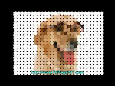 Curing Ear Infections in Labrador Retrievers.mp4