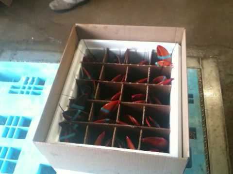 Live Lobster Packing for Shipping