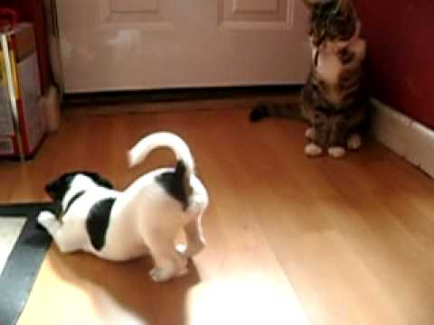 Jack russell puppy barking at cat