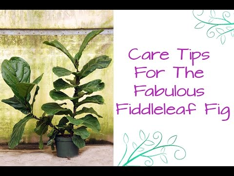 Houseplant Love: Care Tips For The Fabulous Fiddleleaf Fig