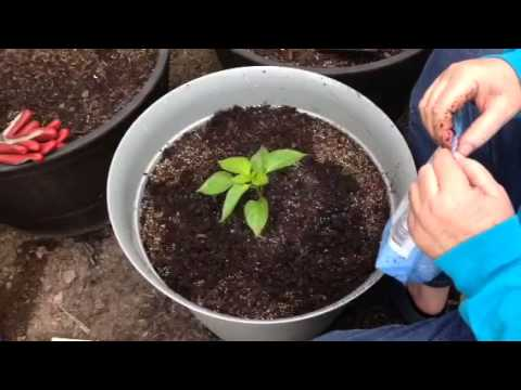 Planting Peppers in Containers