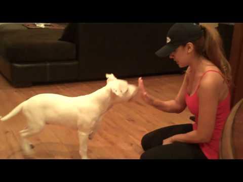 Training My Deaf Pitbull Puppy