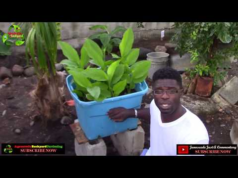 🌱 Growing Turmeric In a pot  || Agrosuede ✔