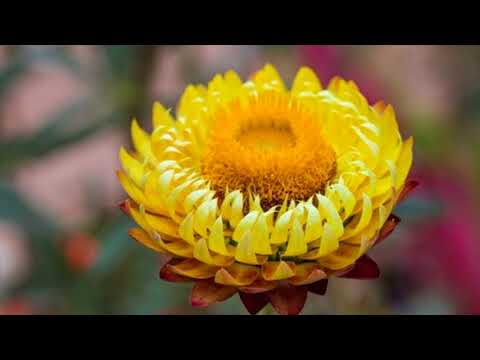 Treat Blood Clot In Legs At Home With Helichrysum Oil Naturally- How To Use