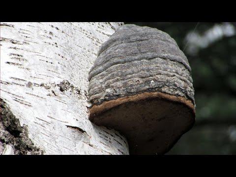 Bark Mushrooms