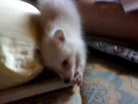 Cute Baby Raccoon White Playing
