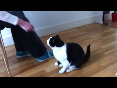 Clever cat does 6 tricks! Better than a dog!