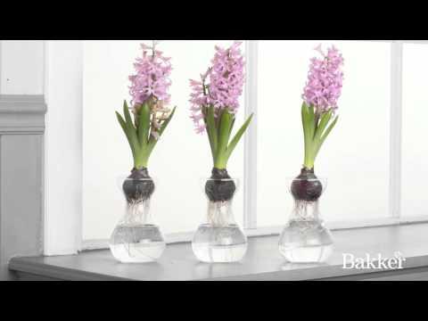 Timelapse - Hyacinths