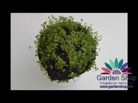 How to growing garden cress from seeds at home (indoors) + time lapse