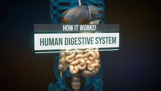 Human digestive system - How it works! (Animation)