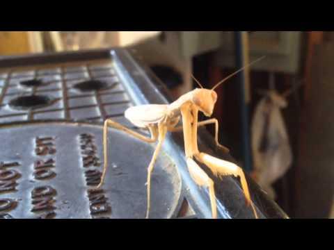 Praying Mantis attack Survivor Speaks