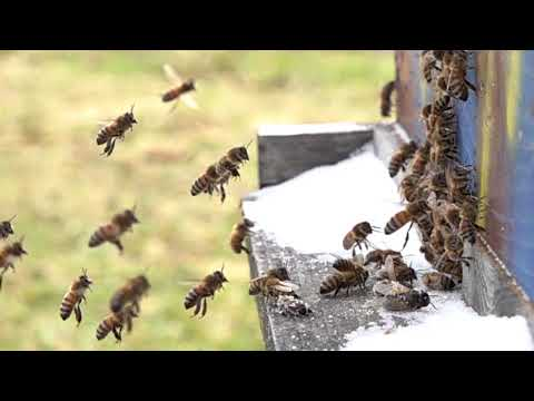 Honeybees are ALIVE temps soar to 50 Degrees F and pollen is coming in SLOW MOTION
