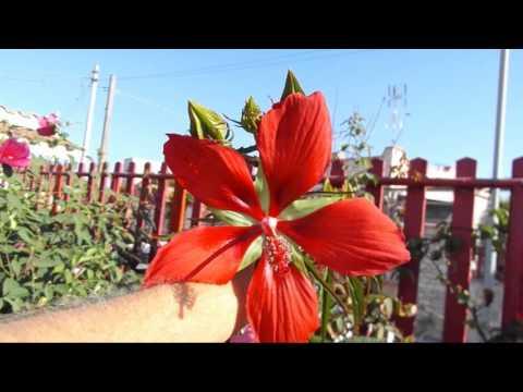 Texas Star hibiscus (Hibiscus coccineus)