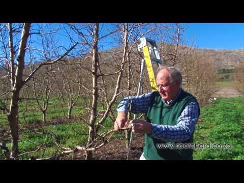 How to prune peach & nectarine trees