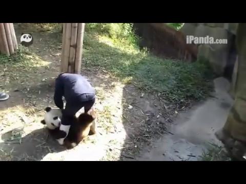 Panda as a Pet!