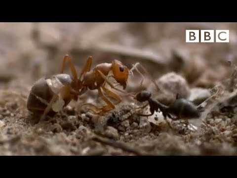 Ant colony raids a rival nest - Natural World - Empire of the Desert Ants - BBC Two
