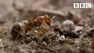 Ant colony raids a rival nest | Natural World - Empire of the Desert Ants - BBC