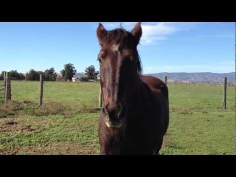 Horse Injury treatment - Mr. T Head Swelling PT 1 Catching & Doctoring - Rick Gore Horsemanship