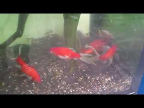 Goldfish Breeding & laying eggs