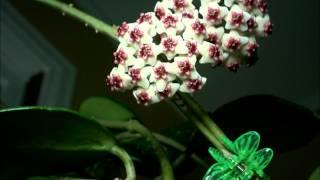 Just the Flowers Ma'am! Hoya obovata