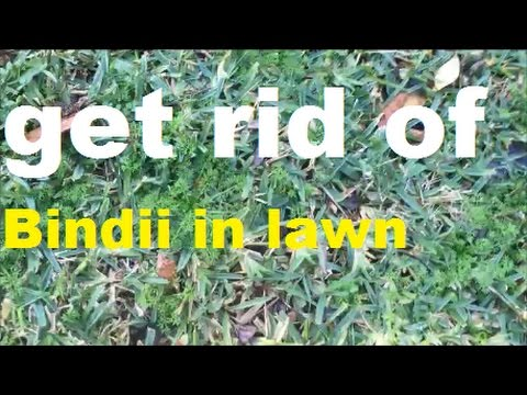 Bindii Weeds In Lawn [Soliva sessilis] [How To Get Rid Of Oxalis] [How To Get Rid Of Wintergrass]