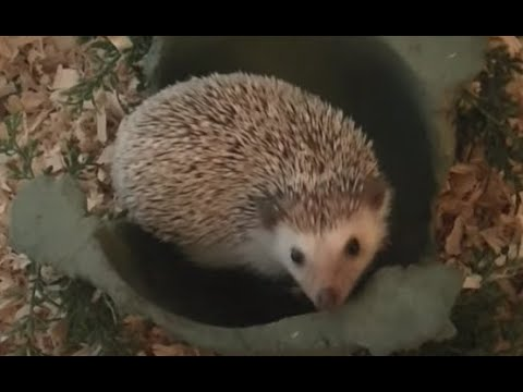 Before You Buy A Hedgehog Watch This!