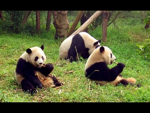 Life of Giant Pandas Full Video Documentary [National Geographic]