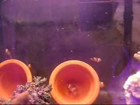 Ocellaris Clownfish laying eggs & their babys