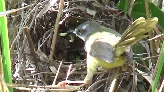 Burung Ciblek Tidurnya Dibalik Dedaunan Ilalang Lucu Tapi Kasihan Lihat Vidionya