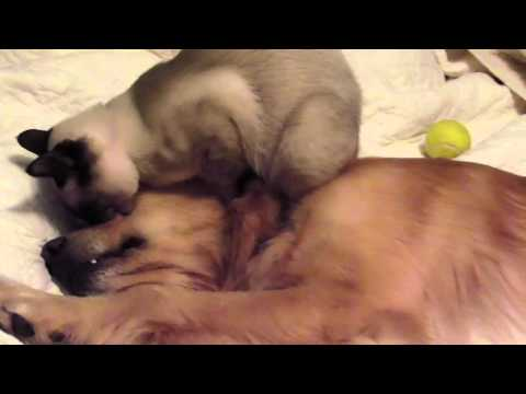 Siamese cat trying to mate with dog Golden Retriever Funny