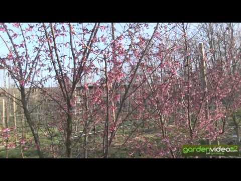 Prunus Okame - cherryblossom